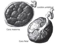 imatge extreta de: Tratado de ginecología y obstetrícia - Sociedad Española de Ginecología y Obstetricia